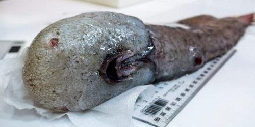 Ikan tanpa wajah.(telegraph)