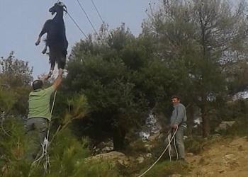 Kambing tersangkut kabel listrik.(Daily Mail)