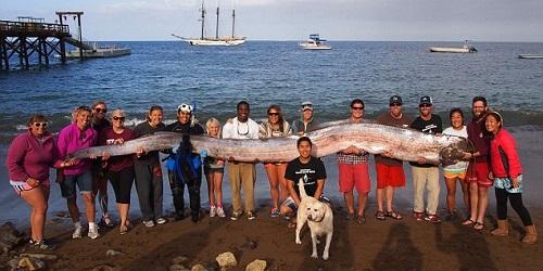 Dibutuhkan banyak orang untuk mengangkat ikan Oarfish.(Daily Mail)
