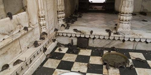 The Karni Mata Temple, India.(Amusing Planet)
