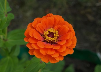 Bunga Zinnia.(bbs)