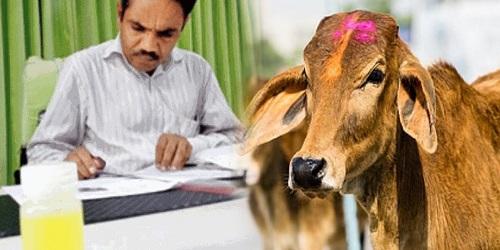 Urine sapi Gir yang mengandung emas.(thebreachist)