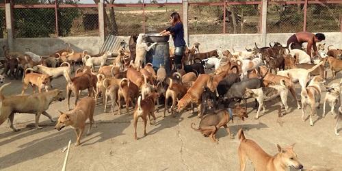 Jumlah anjing yang mencapai ratusan(papawady.com)