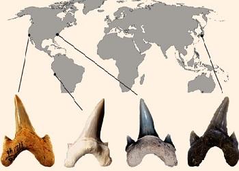 Gigi Megalolamna Paradoxodon.(sci-news.com)