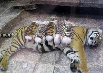 Bayi babi menyusu pada induk macan.(bbs)