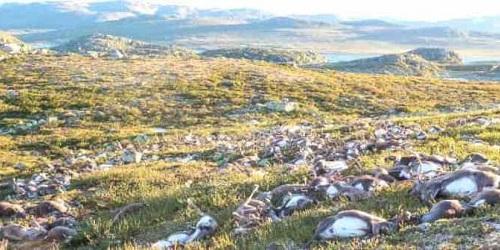 Ratusan rusa yang mati sekaligus.(omediapc)
