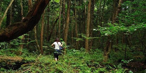 Memasuki hutan Aokigahara.(Atlasobscura)