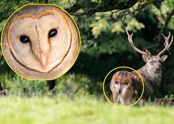 Wajah burung hantu di bagian belakang rusa.(The Sun)