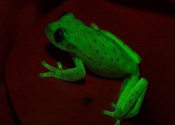 Katak hijau menyala.(thehindu.com)