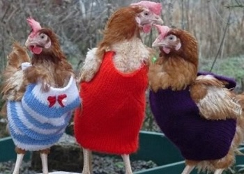 Tiga ayam kenakan sweater.(Your Daily Dish)