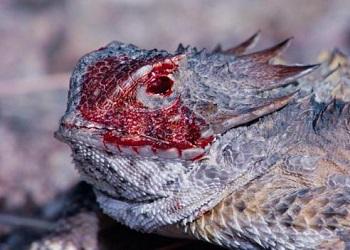Regal Horned Lizard.(bbci.co.uk)