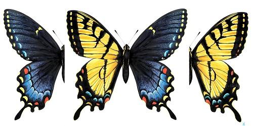 Kupu-kupu, setengah jantan setengah betina.(Amasian Science)