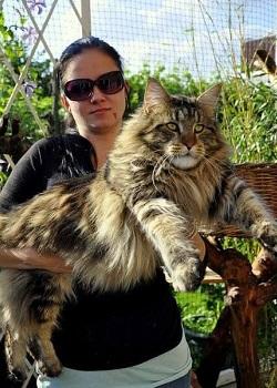 Ras kucing Maine Coon.(okdogi)